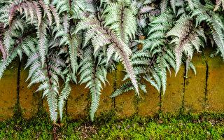 12种漂亮的银叶植物点亮你的花园(上)