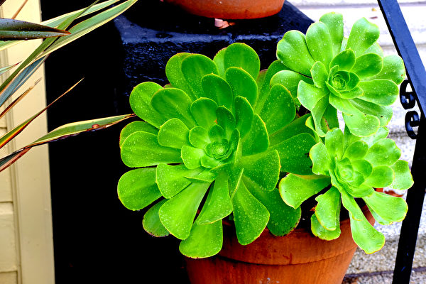 植物, 窗台, 非洲紫羅蘭, 柏金蔓綠絨, 擬石蓮花屬, 迷迭香, 蘆薈, 鏡面草, 羅勒, 蓮花掌屬