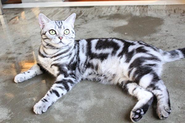 猫, 宠物, 俄罗斯蓝猫, 波斯猫, 英国短毛猫, 异国短毛猫, 布偶猫, 美国短毛猫
