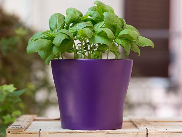 植物, 窗台, 非洲紫羅蘭, 柏金蔓綠絨, 擬石蓮花屬, 迷迭香, 蘆薈, 鏡面草, 羅勒
