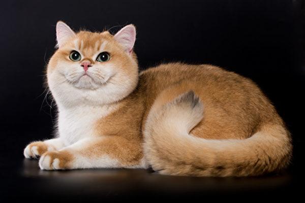 猫, 宠物, 俄罗斯蓝猫, 波斯猫, 英国短毛猫