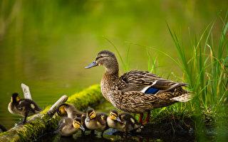 母鸭牺牲自己的生命 救了一窝小鸭