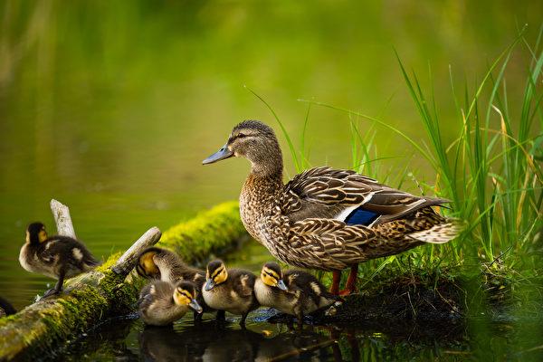 母鴨犧牲自己的生命 救了一窩小鴨