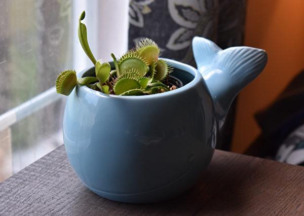 植物, 窗台, 非洲紫羅蘭, 柏金蔓綠絨, 擬石蓮花屬, 迷迭香, 蘆薈, 鏡面草, 羅勒, 蓮花掌屬, 捕蠅草