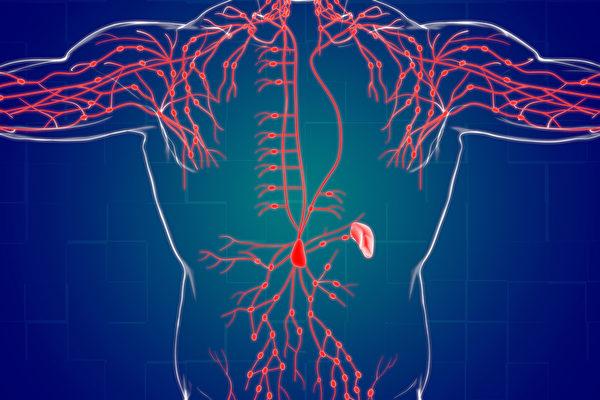 淋巴管上的淋巴结,能阻挡细菌病毒,甚至是癌细胞。(Shutterstock)