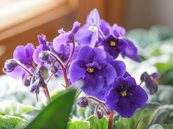 植物, 窗台, 非洲紫羅蘭