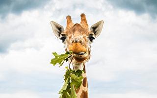 你知道長頸鹿如何吃地上的草嗎?