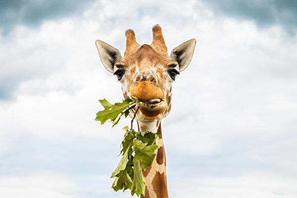 你知道长颈鹿如何吃地上的草吗?