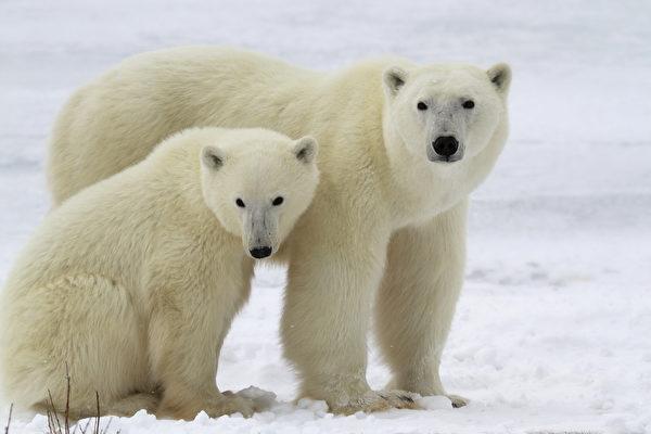 饿昏了? 俄罗斯10只北极熊包围垃圾车