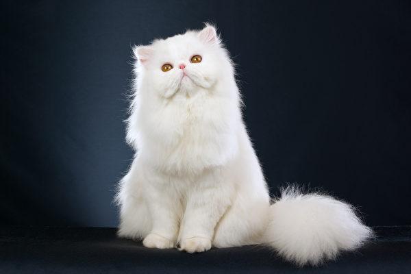 猫, 宠物, 俄罗斯蓝猫, 波斯猫