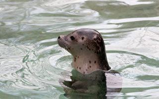 灵性海豹交友渔夫10年 双目失明仍天天会面