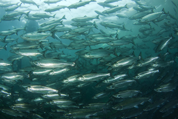 無人機拍到驚人照片:心形鮭魚群包圍鯊魚