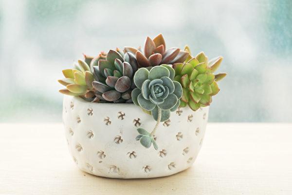 植物, 窗台, 非洲紫罗兰, 柏金蔓绿绒, 拟石莲花属