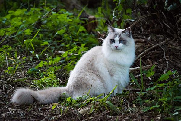 猫, 宠物, 俄罗斯蓝猫, 波斯猫, 英国短毛猫, 异国短毛猫, 布偶猫