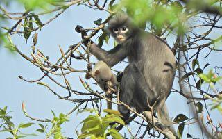 瀕臨滅絕 新物種「波巴葉猴」現緬甸森林