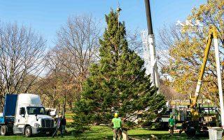 【视频】波士顿安装加拿大友谊圣诞树 今年取消点灯庆典