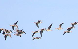 组图:罕见西伯利亚白额雁群现踪台湾