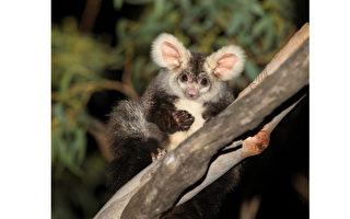澳洲科學家發現兩種新的大飛鼠物種