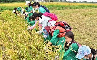 水稻变黄了  学童体会收割的喜悦