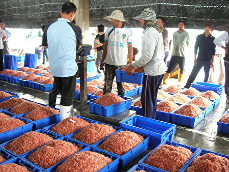 中国不肖厂商以赤尾青虾冒充东港的樱花虾贩售,东港区渔会呼吁消费者不要上当。