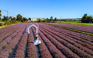 桃园仙草花节  5.8公顷紫色狂潮12.5万株仙草花