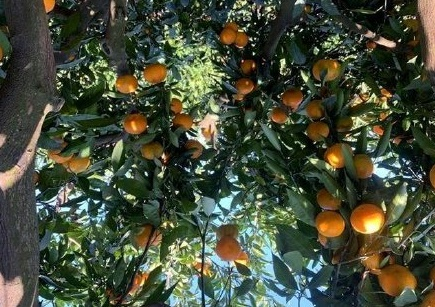 受疫情影響 武漢種植戶橘子嚴重滯銷
