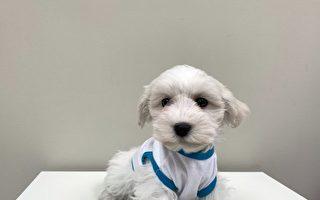 疫期小狗漲價? 密市和國王鎮發生搶小狗案