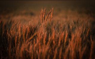 中共称测出有害生物 澳大麦出口商:无中生有