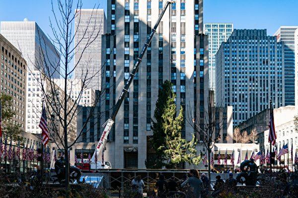 今年被選中作為洛克菲勒中心聖誕樹的這株巨大雲杉。(Jeenah Moon/Getty Images)