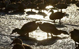 禽流感來襲 荷蘭政府發布警告