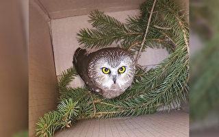 圣诞奇迹 猫头鹰受困洛克菲勒中心圣诞树