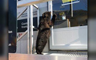 卑詩小熊無證強行跨越加美邊境  被「遣返」