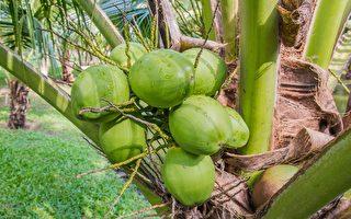 考量学生困境 印尼学院允许以椰子付学费