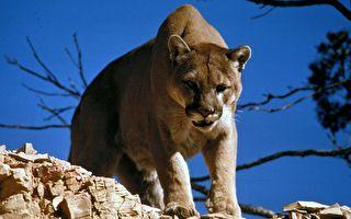 設陷阱誤捕美洲獅 美國獵人冒險將其放生
