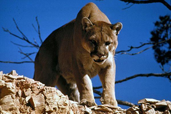 设陷阱误捕美洲狮 美国猎人冒险将其放生