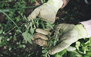 维州食肉性溃疡病例增加 专家:或与园艺有关