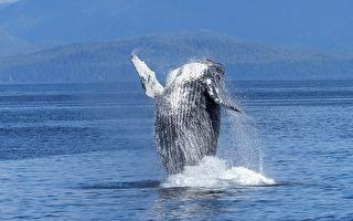 美國女子划艇觀海遭座頭鯨一口吞下 奇蹟生還