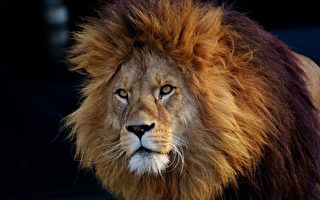 瘦弱狮子泡水溺毙 河北动物园:它在休息