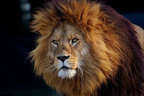 瘦弱獅子泡水溺斃 河北動物園:牠在休息