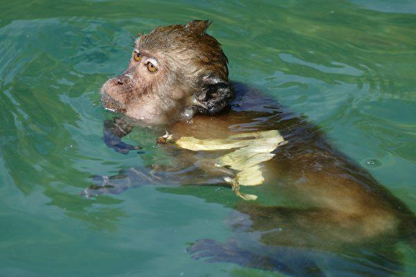 猴子在河中快溺斃 巴西善心男子出手搭救