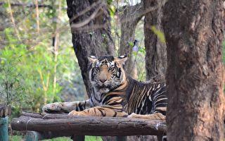 全球不到10隻 印攝影師意外拍到罕見黑老虎