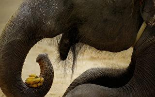 斯里兰卡大象变劫匪 拦下巴士抢香蕉来吃