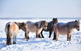 这种北极圈小马可耐严寒 -70°C也不怕