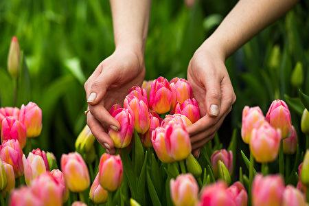 花粉热, 致敏植物, 大花山茱萸, 郁金香