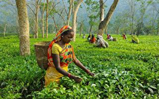 印度阿薩姆茶價格創新高 每公斤上千美元