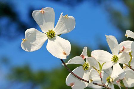 花粉热, 致敏植物, 大花山茱萸