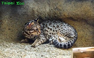 3歲石虎消失 北市立動物園:岩壁被挖出一個洞