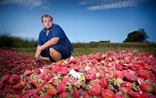 出口受阻 草莓价格下跌43% 果农明年何去何从