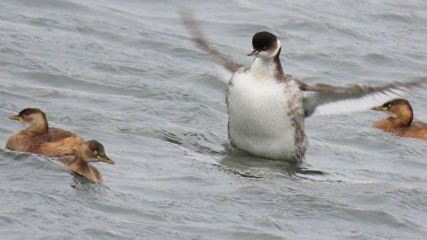 【视频】罕见台湾冬候鸟黑颈䴙䴘、白眼潜鸭