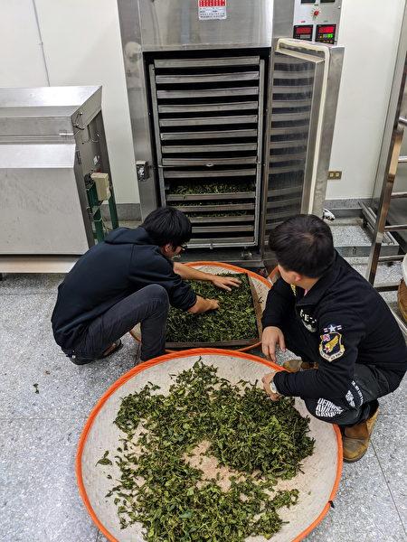 製茶過程之一將揉捻過的茶菁放入烘乾機中進行初乾步驟。